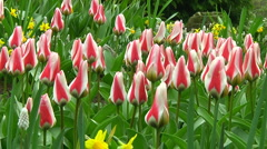Tulips - stock footage