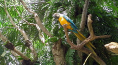 Yellow and Blue Macaw - stock footage