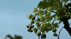 Spring, ripening currants. Stock Footage