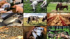 Farm Animal multiscreen Stock Footage