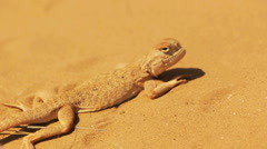 Desert lizard Stock Footage