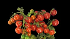 Time-lapse of growing and ripening tomato 6 - stock footage