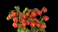 Stock Video Footage of Time-lapse of growing and ripening tomato 6
