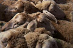 Livestock Animal Market V.2 - Algeria 1970s Vintage Super8 Film Stock Footage