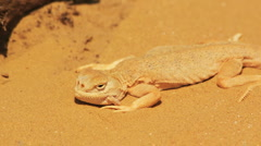 Desert lizard Stock Footage