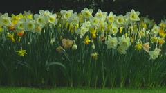 Mixed daffodils Stock Footage