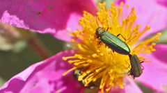 Couple of beetles in spring time Stock Footage