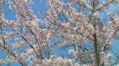 Prunus Stock Footage