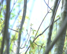Trees Swaying in a Spring Breeze - PAL Stock Footage