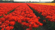 Stock Video Footage of Red tulips