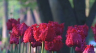 Red tulips Stock Footage