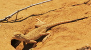 Stock Video Footage of Desert lizard
