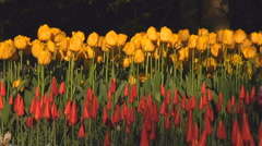 Small red tulips Stock Footage