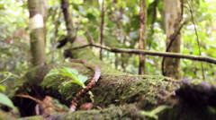 Checkerbelly Snake (Siphlophis cervinus) Stock Footage