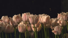 White tulips - stock footage