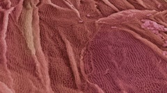 Oesophagus epithelium, SEM Stock Footage