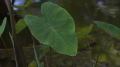 MS Hawaiian Kalo (taro) leaf in loi (taro patch) Stock Footage