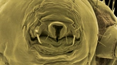 Head louse, SEM Stock Footage