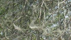 Yponomeuta evonymella, caterpillars  ermine moths communal webs - stock footage