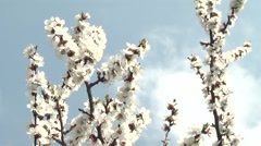 Apricots in the garden in spring Stock Footage