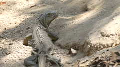 Stock Video Footage of iguana