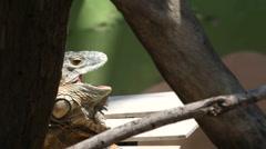 Iguana Stock Footage