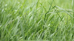 Uncut Healthy Green Grass (v.2) Stock Footage