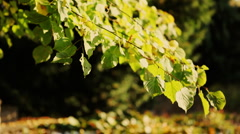 Basswood leaves in the wind Stock Footage