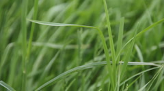 Uncut Healthy Green Grass (v.1) Stock Footage