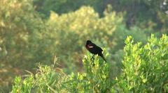 Red winged blackbird Stock Footage