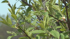 Spring bird cherry tree branches with buds and leaves. Stock Footage
