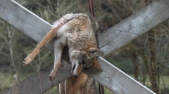 Dead Dog in Fence Stock Footage