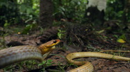 Stock Video Footage of Olive whipsnake (Chironius fuscus) strikes at camera