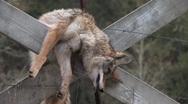 Road Kill Dead Dog Stock Footage