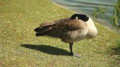 Sleepy goose. Stock Footage