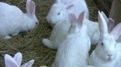 White Rabbits Stock Footage