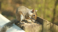 Eastern grey squirrel. Stock Footage