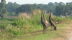 Four sandhill cranes Stock Footage