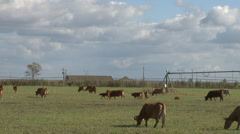 Cows graze in farm time lapse Stock Footage