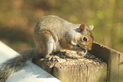 Eastern grey squirrel. SD. Stock Footage