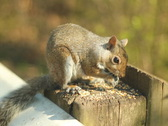 Stock Video Footage of Eastern grey squirrel. SD.
