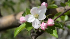 Blossoming apple-tree - stock footage