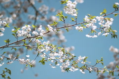 Spring blossom branch. SD. Stock Footage