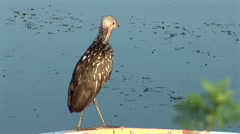 Limpkin cleaning itself Stock Footage