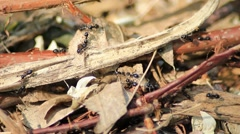 Small black ants walking on forrest ground Stock Footage