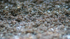 Army ants assemble for battle - stock footage