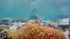 Clown fishes and anemone Stock Footage