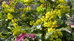 Yellow blossoming bush Stock Footage