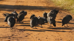 Guineafowls Grooming on a Dirt Road in Africa GFHD Stock Footage