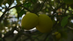 Stock Video Footage of Close-Up Of A Lemon Fruit On Branches